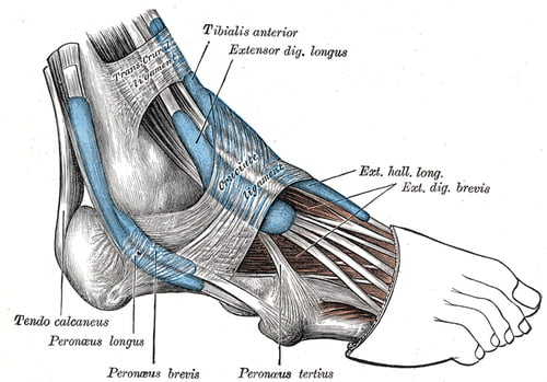 Extensor Tendon - Lace Bite